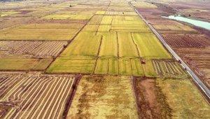 Edirne'de verimi artan çeltik hasadında sona gelindi