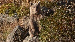 Nemrut'ta elle beslenen yavru ayılar için harekete geçildi