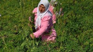 İlk kez Nurdağı'nda ekilen 'moringa'da hasat zamanı