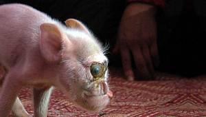Bilim insanları, maymun ve domuzdan yeni bir canlı ürettiler