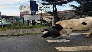 Kafasına araba lastiği takılan ineği vatandaşlar kurtardı