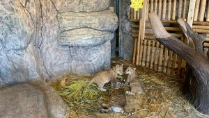 Yavru aslanlar sömestr tatili için öğrencileri bekliyor